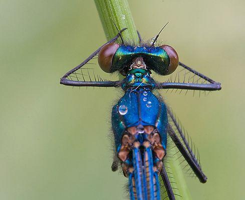 caloptéryx splendens détails 3