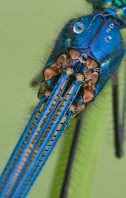 caloptéryx splendens détails