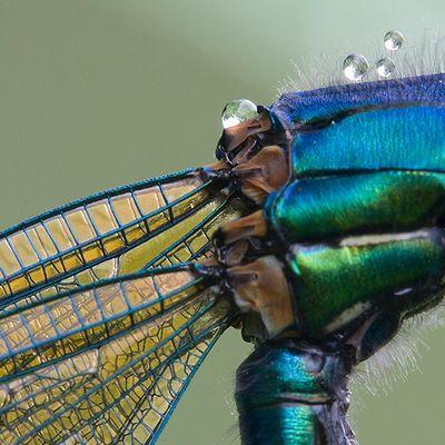 caloptéryx splendens détails2