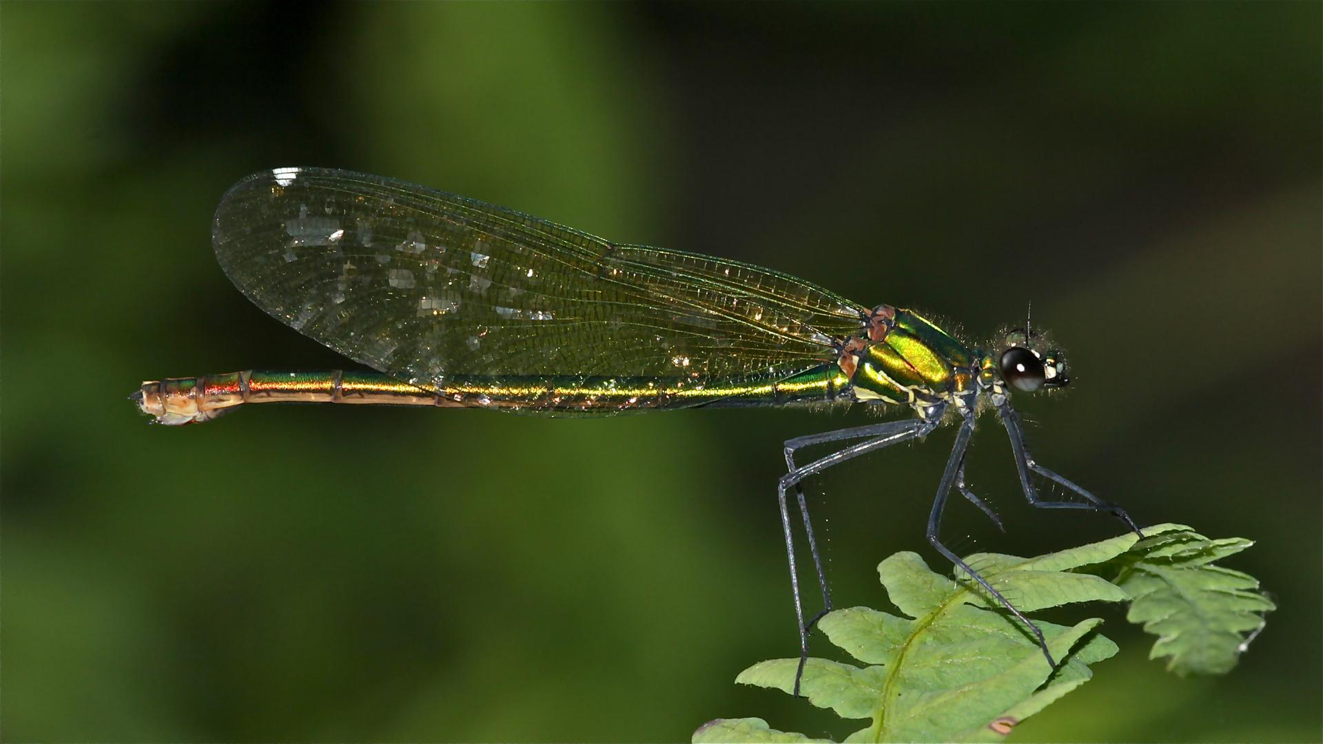 CALOPTERYX SPLENDENS - Die Gebänderte Prachtlibelle, ein Weibchen