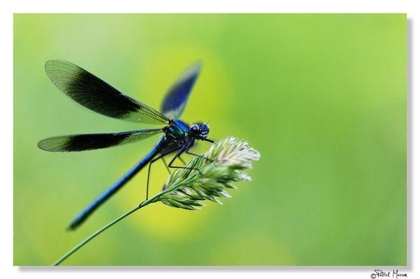 Calopteryx Splendens Hunting. . . Camera Shooting!!!!