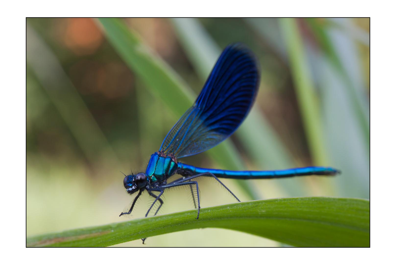 Calopteryx splendens II