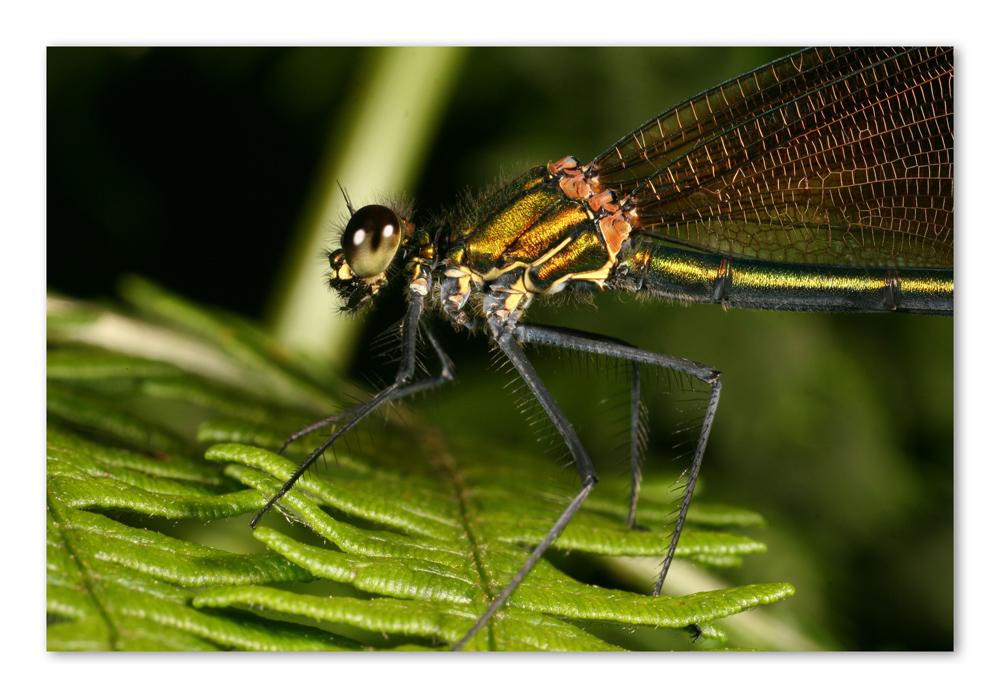 Calopteryx vierge femelle