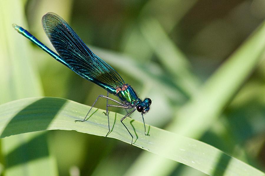 calopteryx virgo III