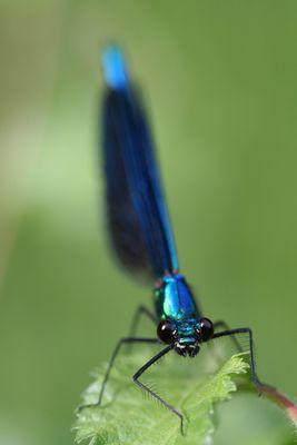 Calopteryx virgo mâle