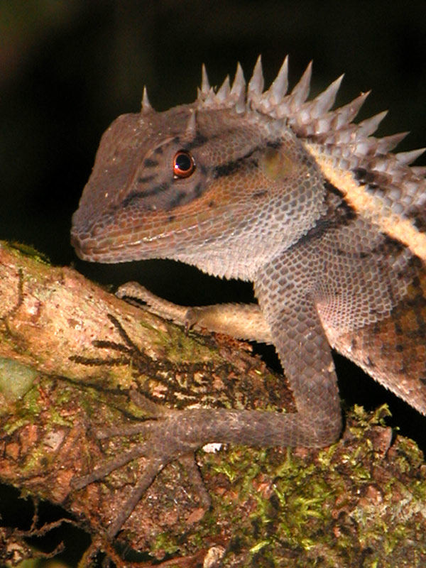 Calotes emma, forest-living agamid