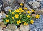 Caltha palustris - Sumpfdotterblume