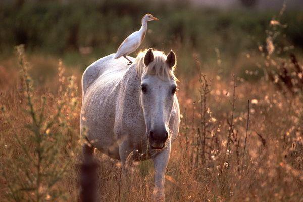 Camargue-Pferd mit Reiter (Kuhreiher)
