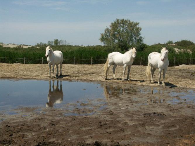 Camargue Pferde 3