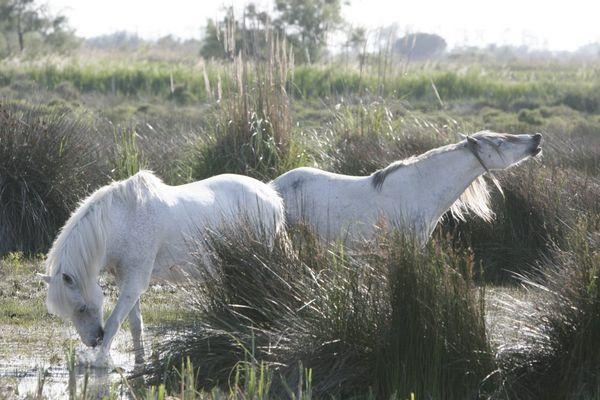 Camargue-Pferde I