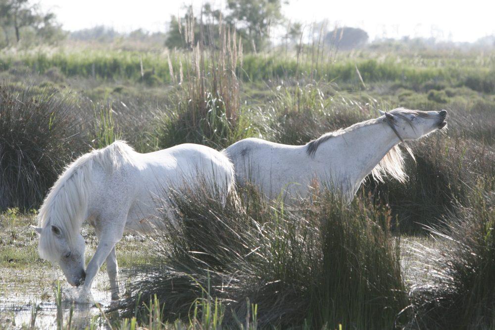 Bildergebnis für camargue pferde