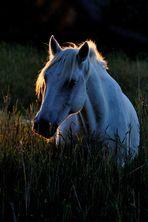 Camarque - Pferd