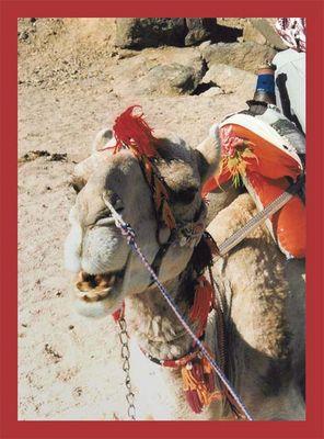 Camel Ägyptens