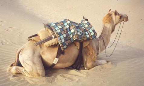 Camel at the Jaisalmer sand dunes
