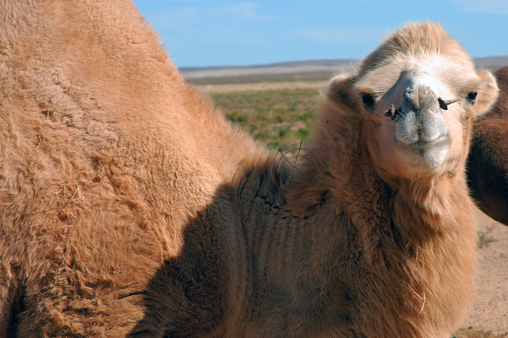 Camel buck in good mood