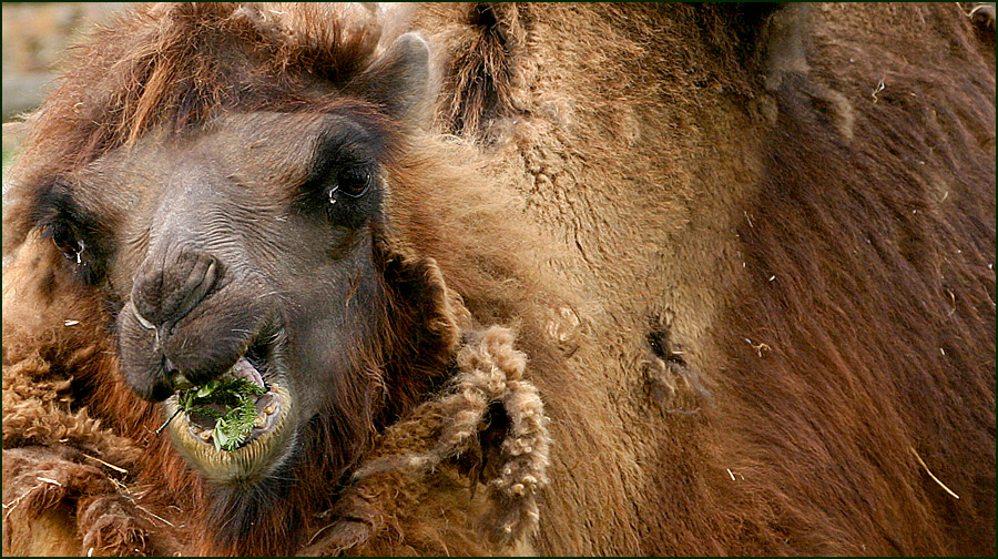 *Camel*
