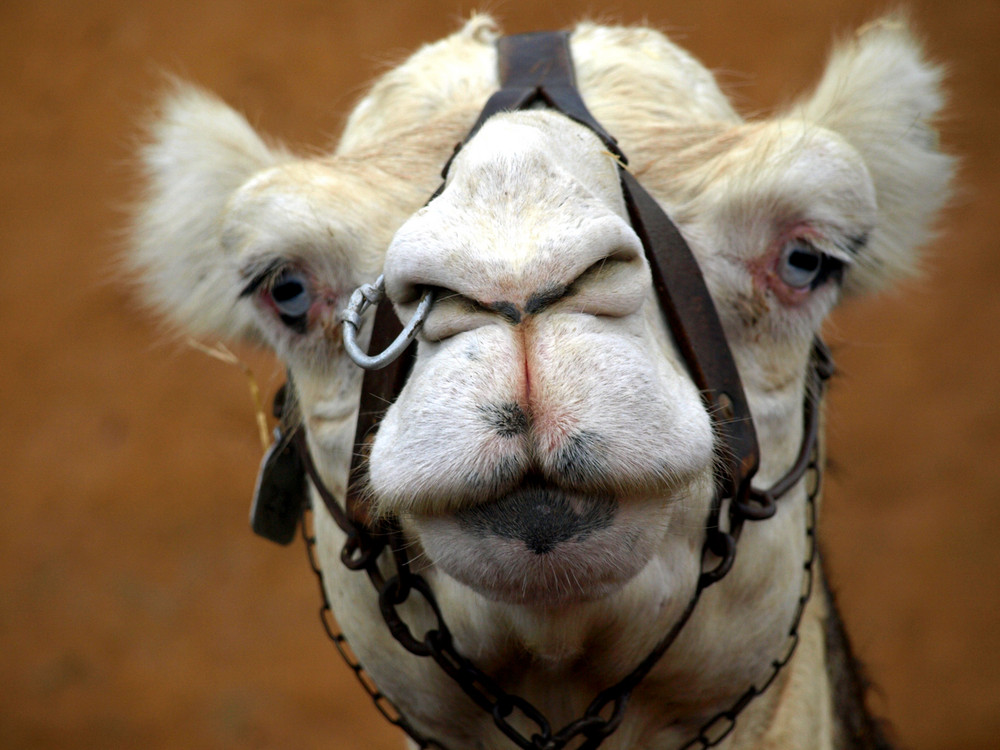 Camel-Punk