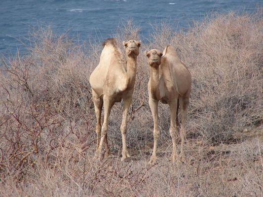 Camel twins from Tajurah