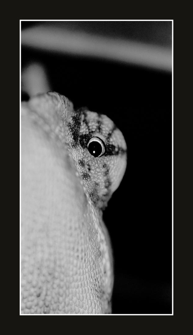 caméléon calyptratus