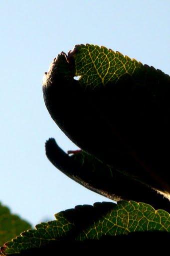 Caméléon végétal