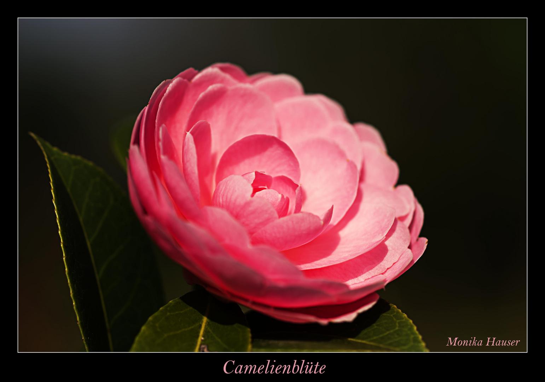 Camelienblüte