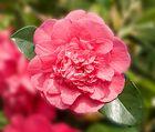 Camellia japonica R.L. Wheeler