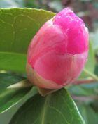 Camellia Japonica schaeft noch .................. bitte leise  !