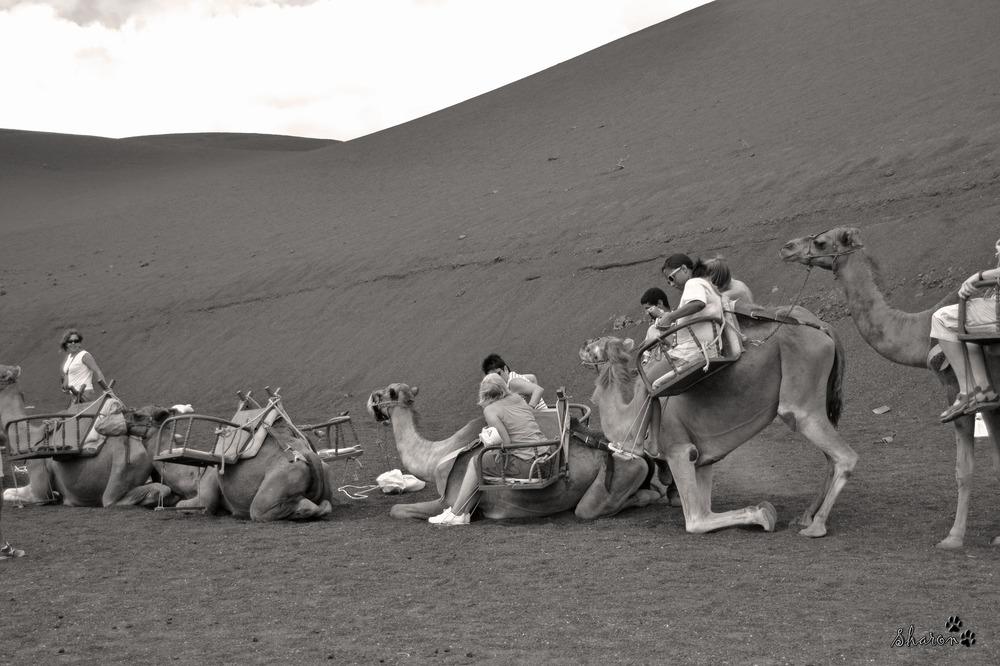 Camellos Parque Timanfaya