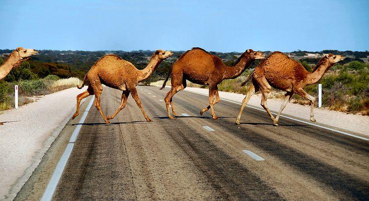camels… camels…