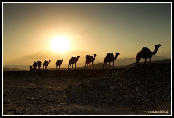 Camels on tour