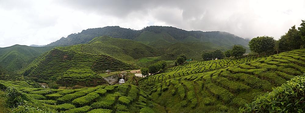 Cameron Highlands - Bharat Tea Plantation