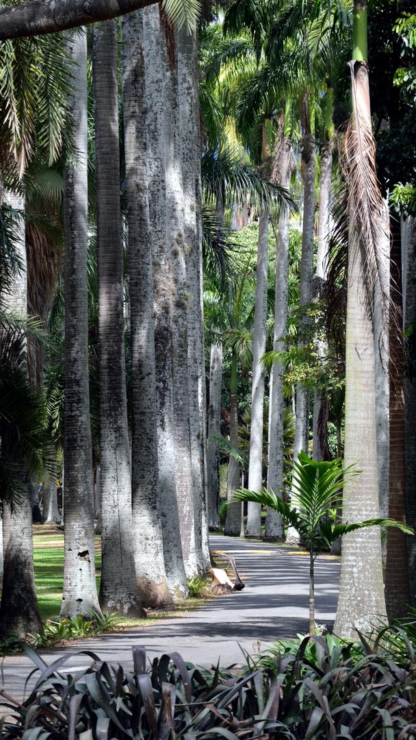 Caminos de Chaguaramos (Roystonea oleracea) del Jardín Botánico de Caracas
