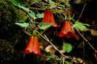 Campanillas - (Canarina Canariensis)