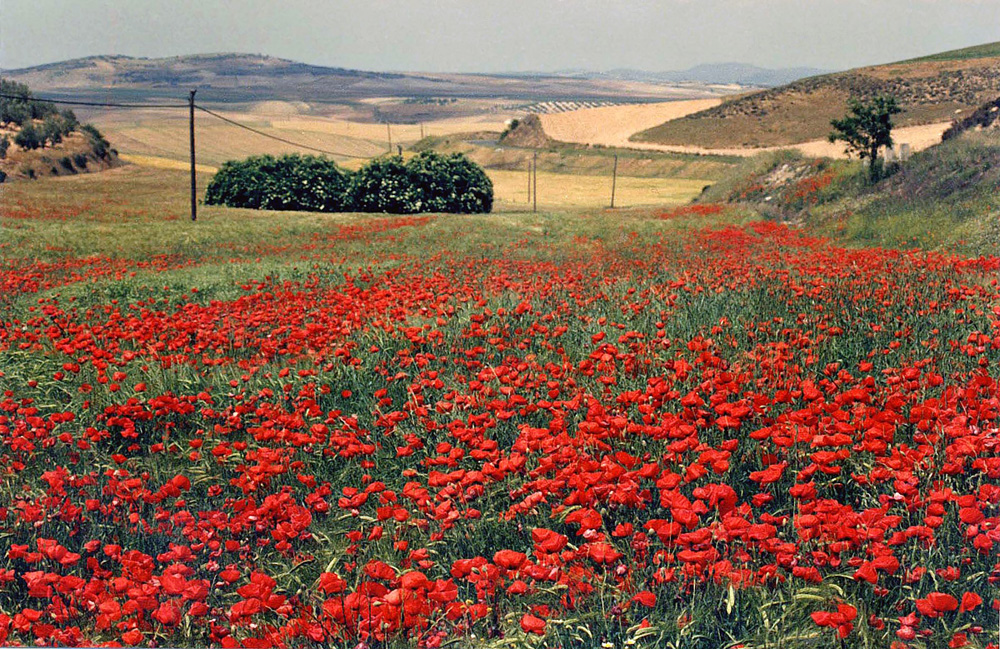 Campo de Amapolas - Poppy Fields