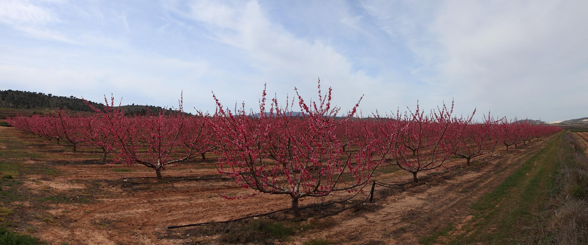 Campo de bresquillas en floracion