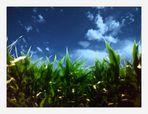 campo di grano #1