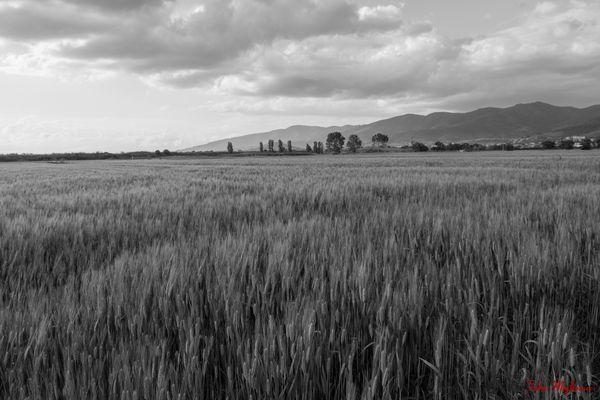 Campo di grano- Toscana