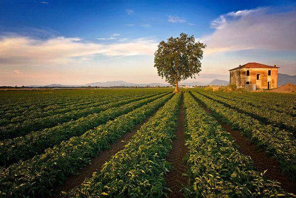 Campo di pomodoro con albero