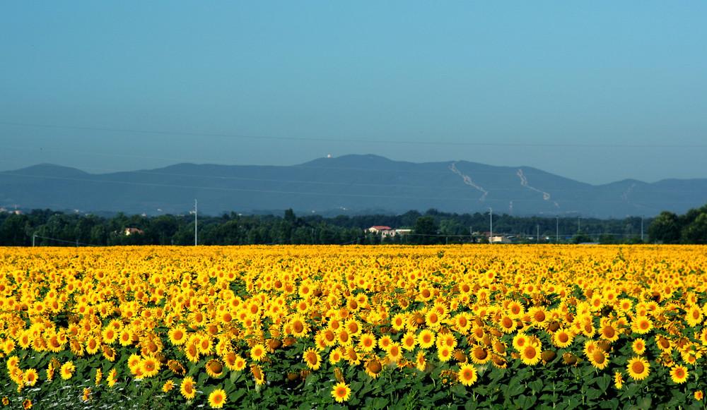 campo giallo
