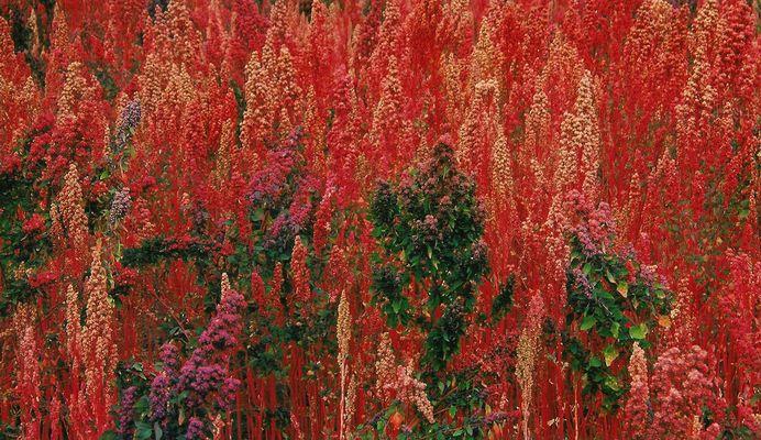Campo sembrado de quinoa (provincia de Chimborazo).