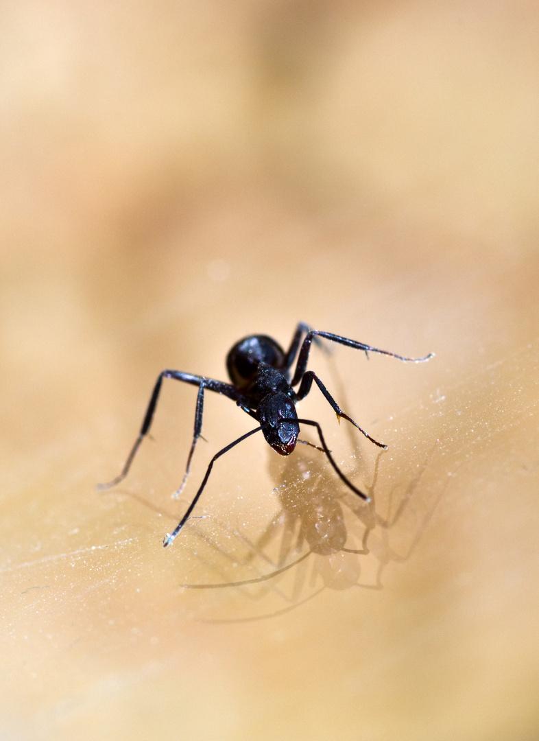 Camponotus cruentatus II