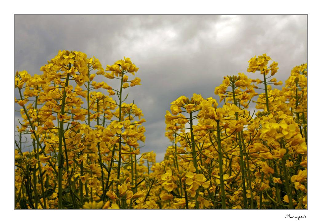 Campos amarillos (1)