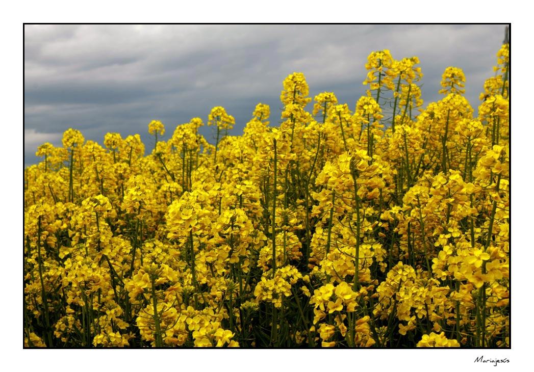 Campos amarillos (3)