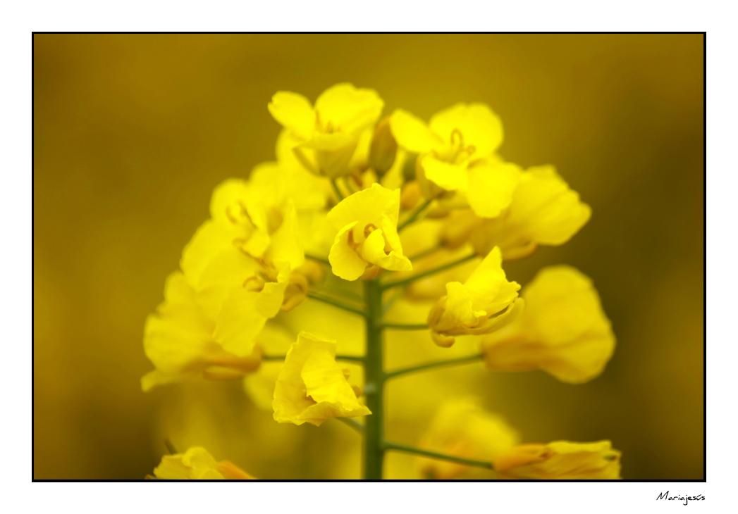 Campos amarillos (5)