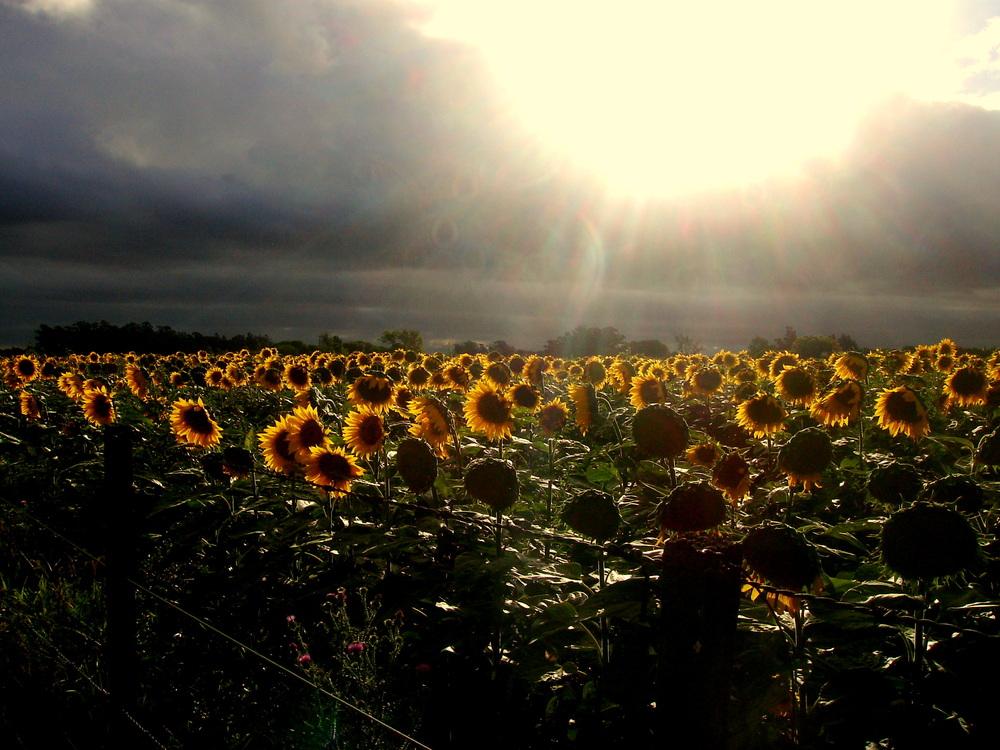 campos de girasoles