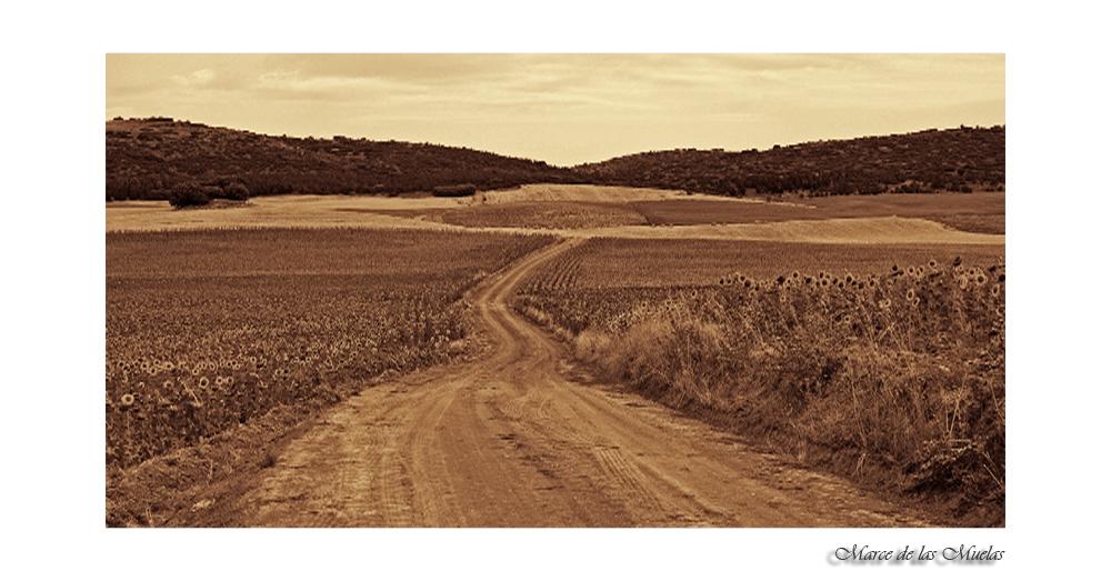 Campos de girasoles 4...