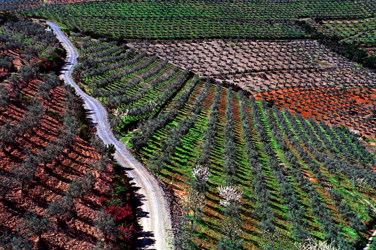 Campos de olivares en primavera
