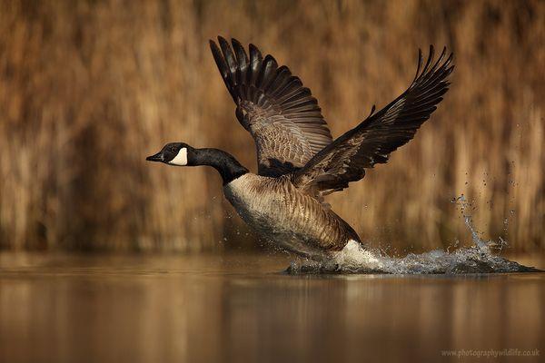 Canadian goose - Branta Canadensis