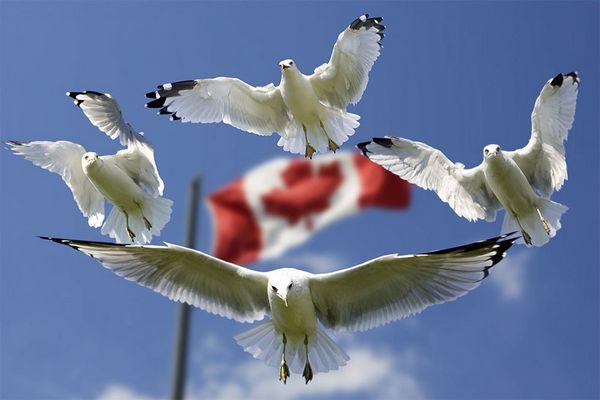 Canadian Seagulls