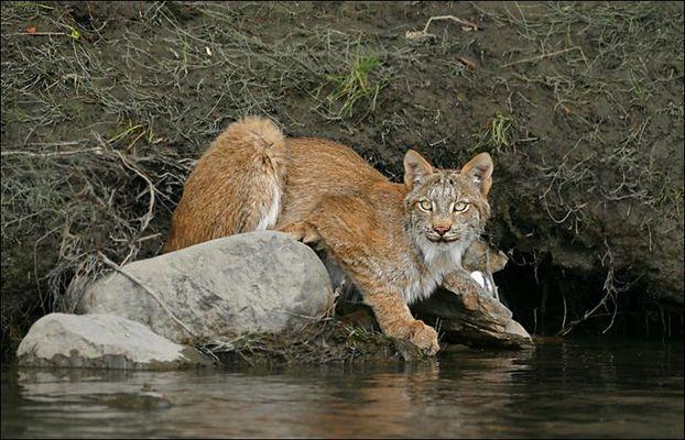 Canadien Lynx